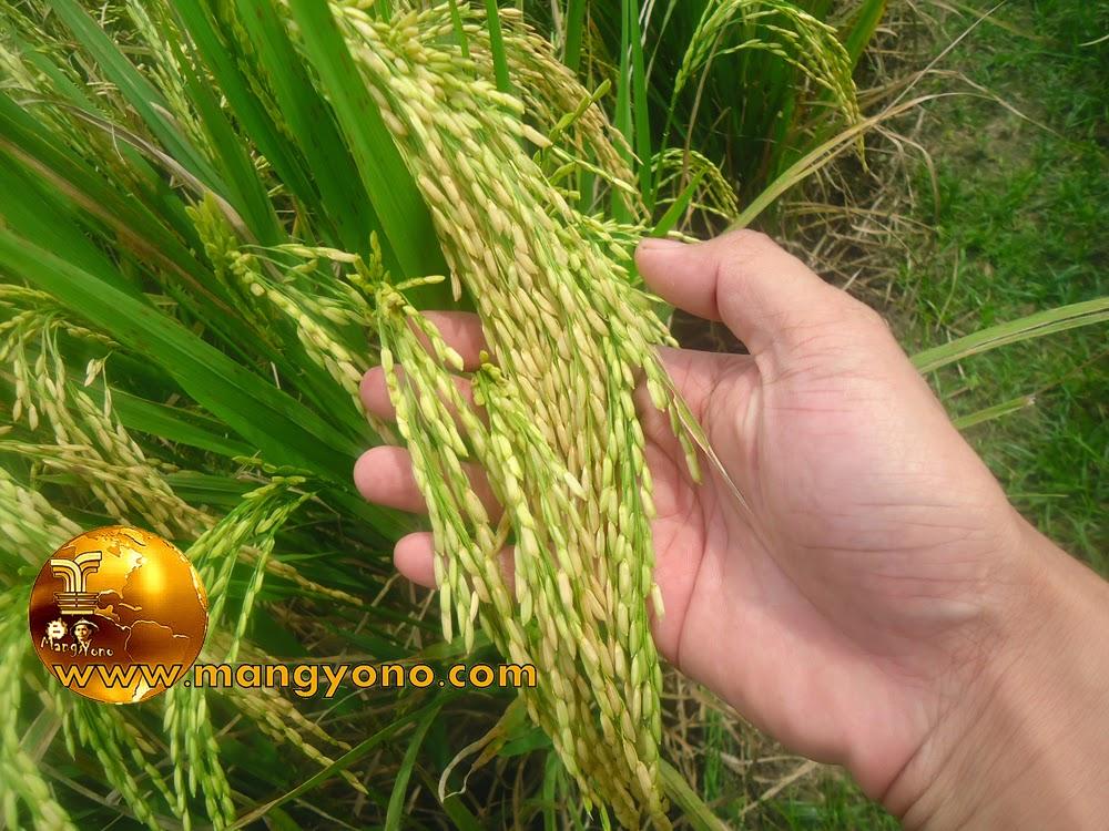FOTO : Bulir padi mulai menguning
