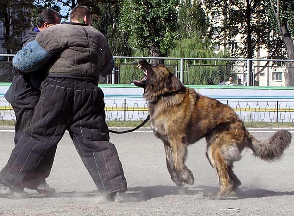 Caucasian Shepherd Russian Prison Dogs