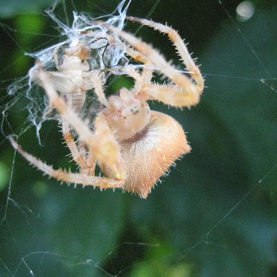 gambar laba-laba