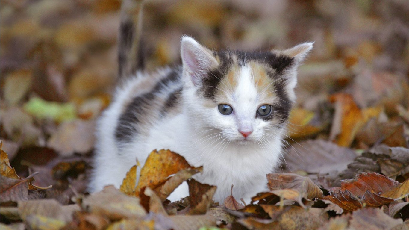wallpaper gallery cat kittens wallpaper 5