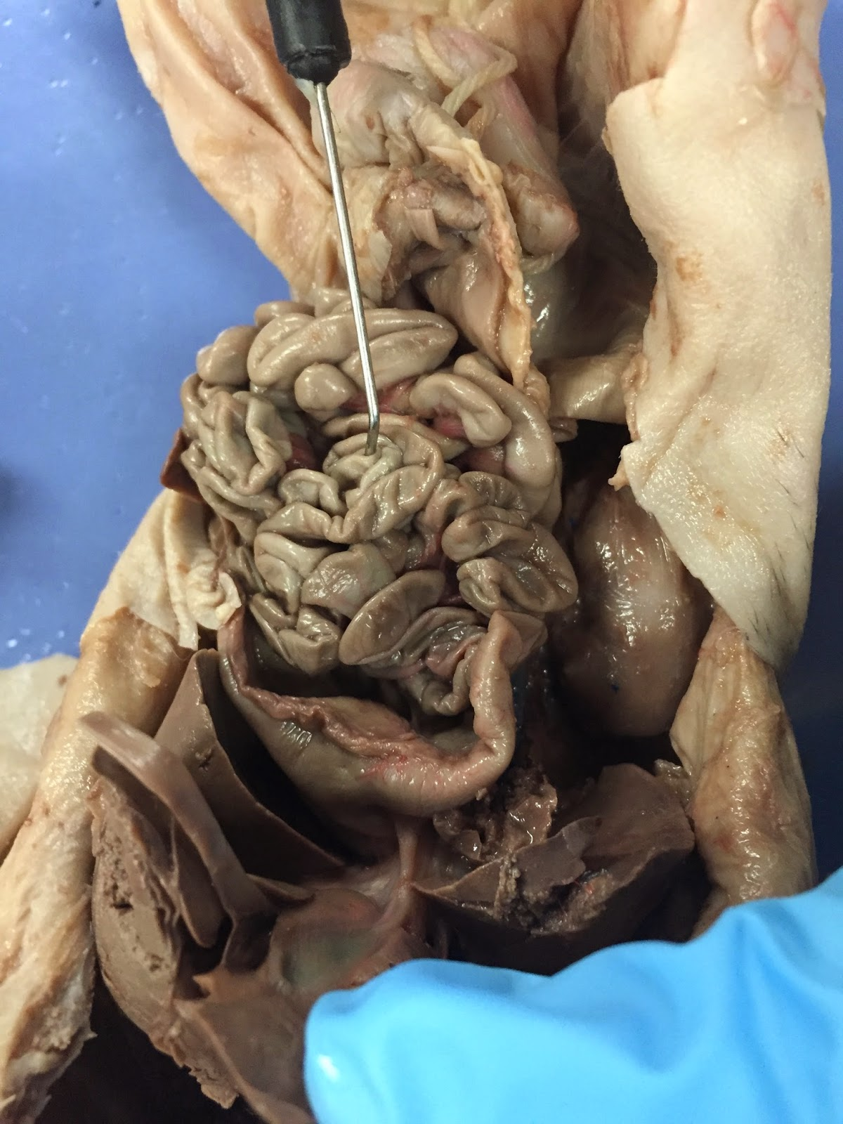 Dissection of digestive system pigs hannah brickson anatomy dissection of digestive system pigs ccuart Choice Image