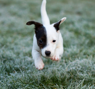 Jack Russell puppy Wallpapers