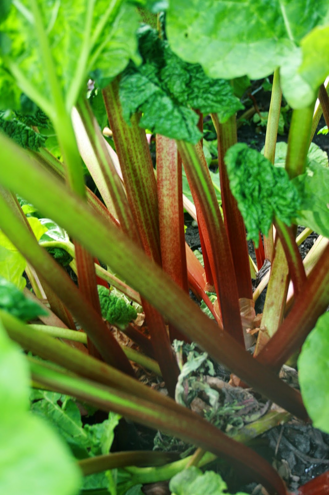 how to grow rhubarb in melbourne
