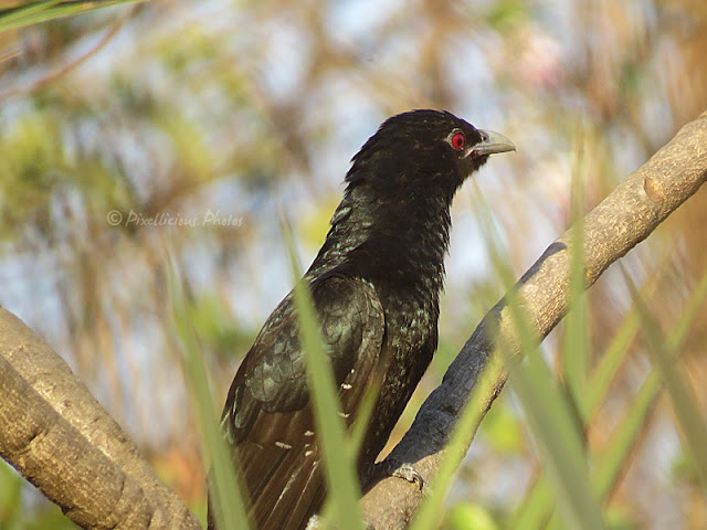 Asiatic Koel, Male