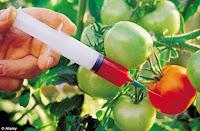 Tomatoes-gmo