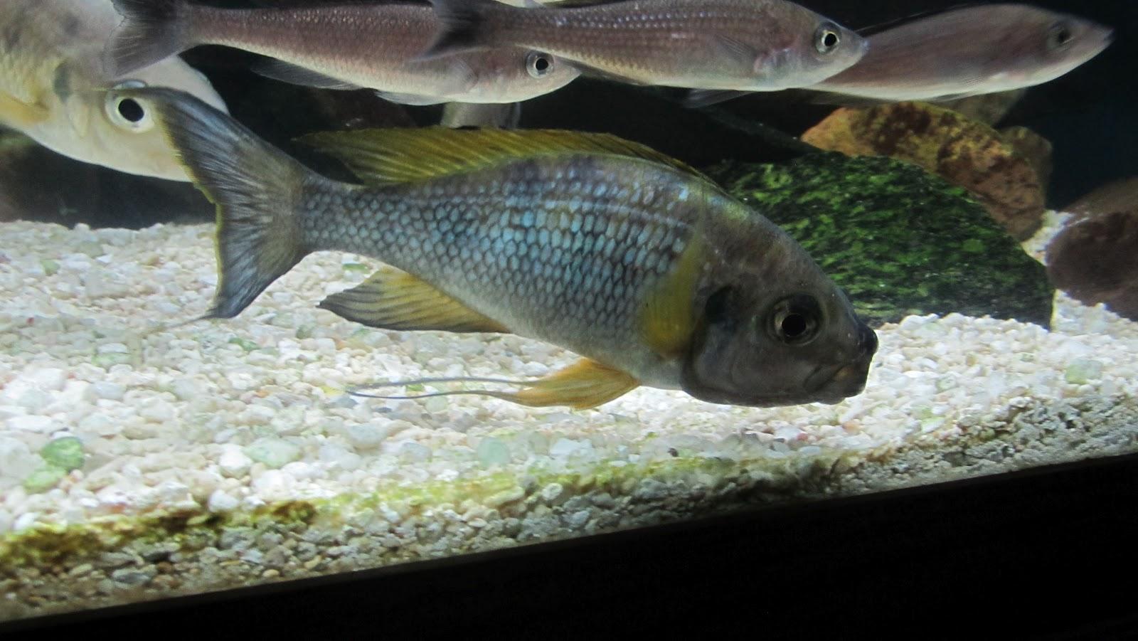 maltang fish ophthalmotilapia ventralis mpimbwe 42712