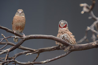 Cut-throat Finches at the National Aviary in Pittsburgh