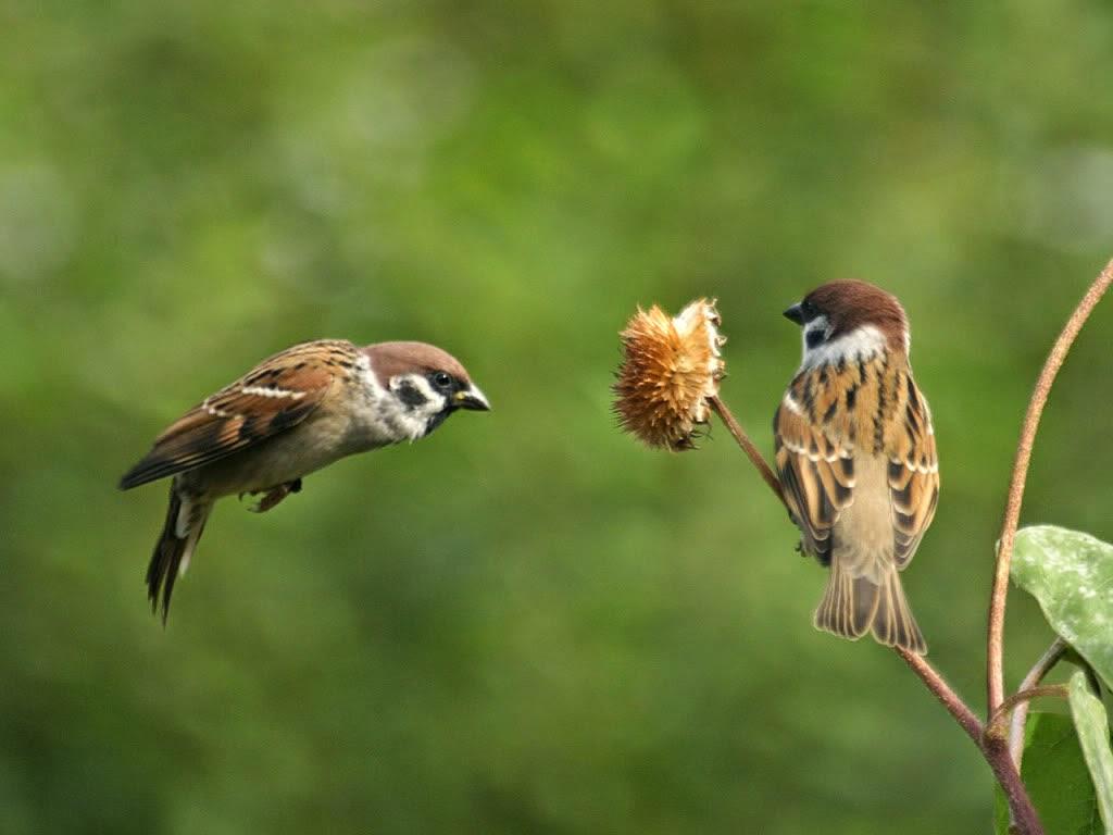 burung suara kasar