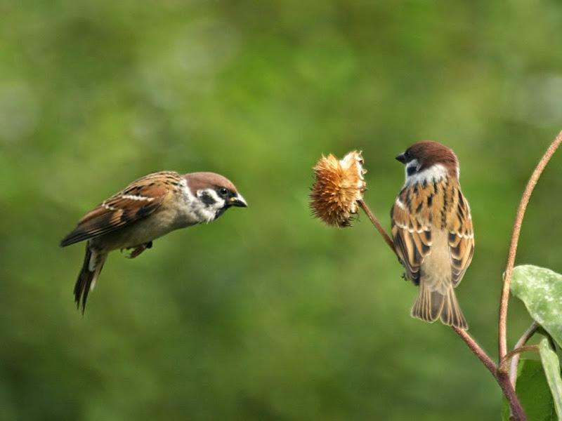 Suara Burung Gereja Durasi Panjang Untuk Masteran