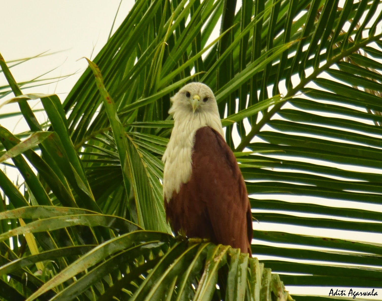Brahminy Kite perched on a coconut tree in the backwaters of Allepey