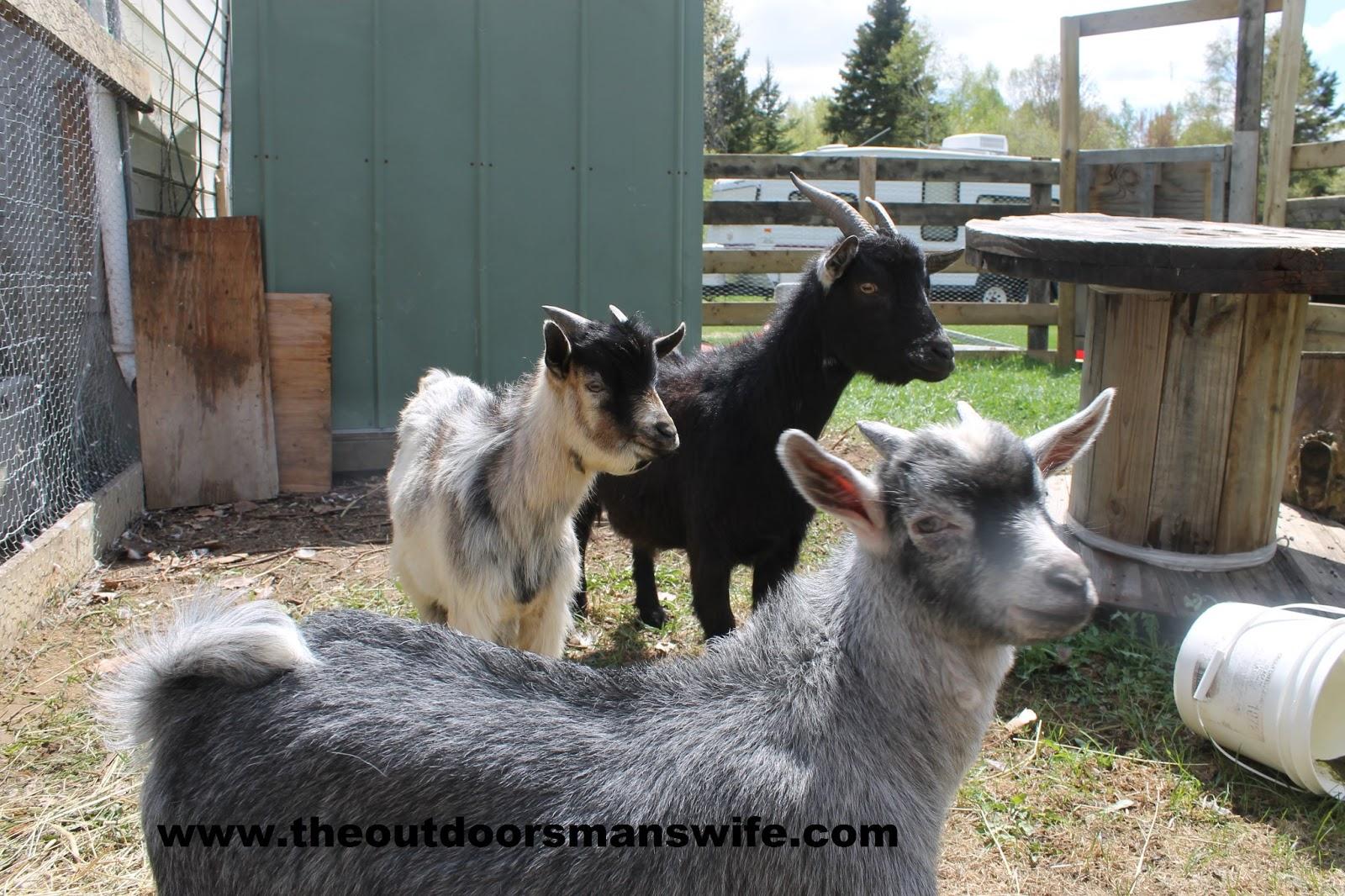 Backyard pygmy goats