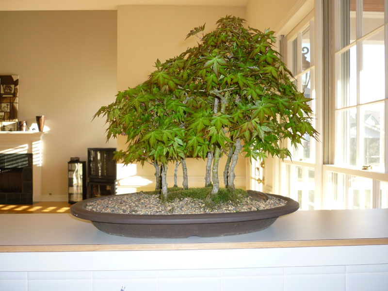 japanese maple bonsai for sale. japanese maple bonsai for sale