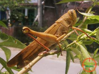 Foto Belalang Kayu