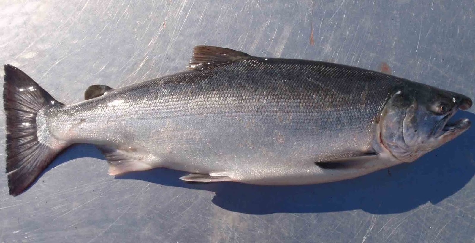 Healthiest fish to eat for Safest fish to eat