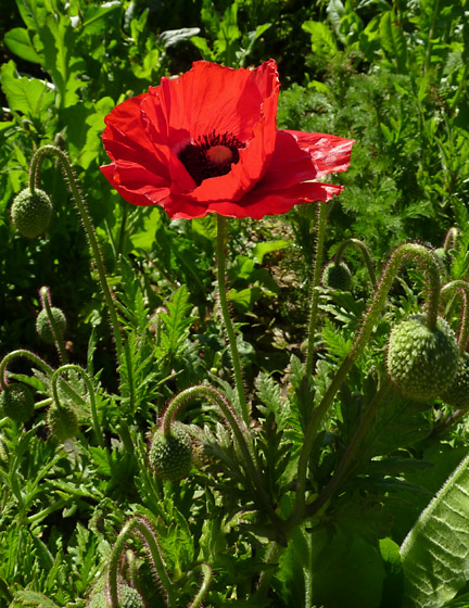 Famous flowers it 39 s meaning - Yellow poppy flower meaning ...