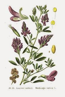 daun alfalfa shaklee