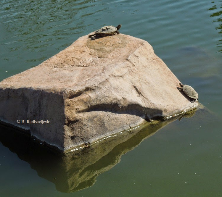 Turtles on a Rock, © B. Radisavljevic