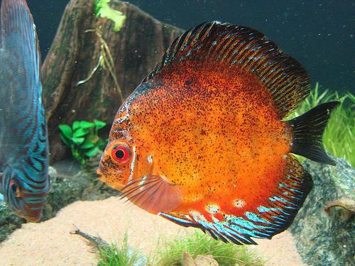 أجمل 10 أسماك ملونة في عالم البحار '' بالصور '' Symphysodon1.jpg