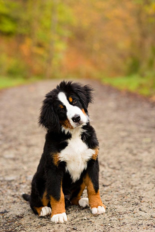 Cute Amazing Bernese Mountain Dog