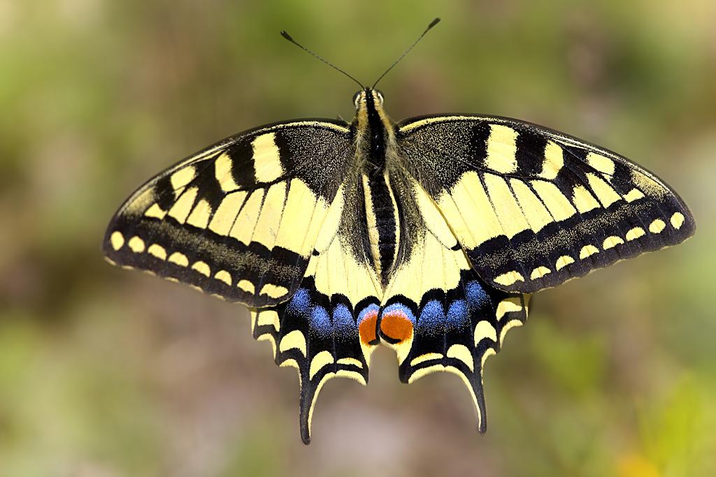 Para ampliar Papilio machaon (Linnaeus, 1758) hacer clic