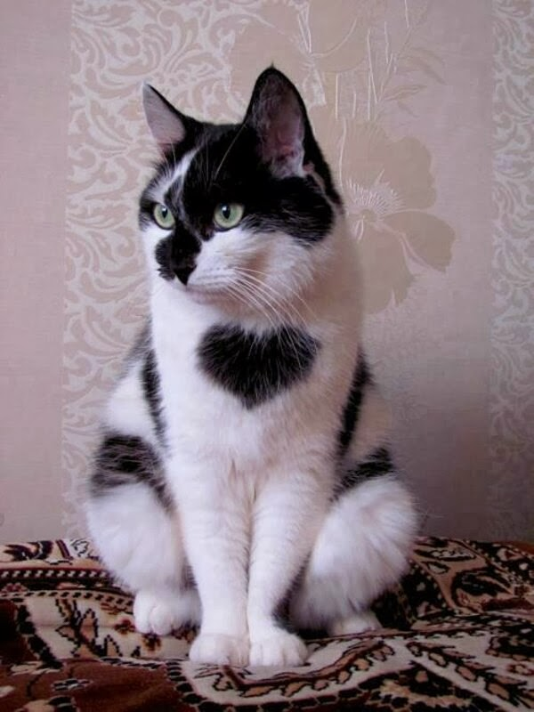 Funny cats - part 89 (40 pics + 10 gifs), cat with heart shaped fur on his chest