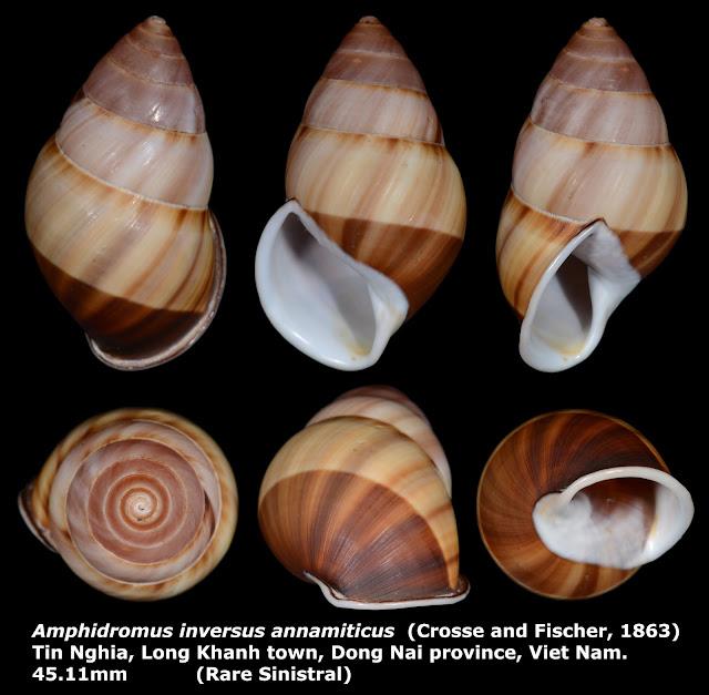 Amphidromus inversus annamiticus 45.11mm (Rare Sinistral)