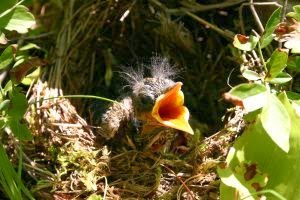 Baby Bird Photo by Photo by Penny Bubar