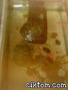Kura-kura kesayangan Cik Tom Diego dan Dora