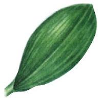 Tulang daun sejajar atau melengkung monokotil