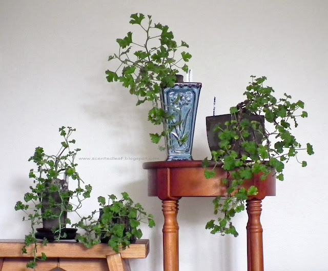 Scented Pelargoniums trained as Cascade Bonsai