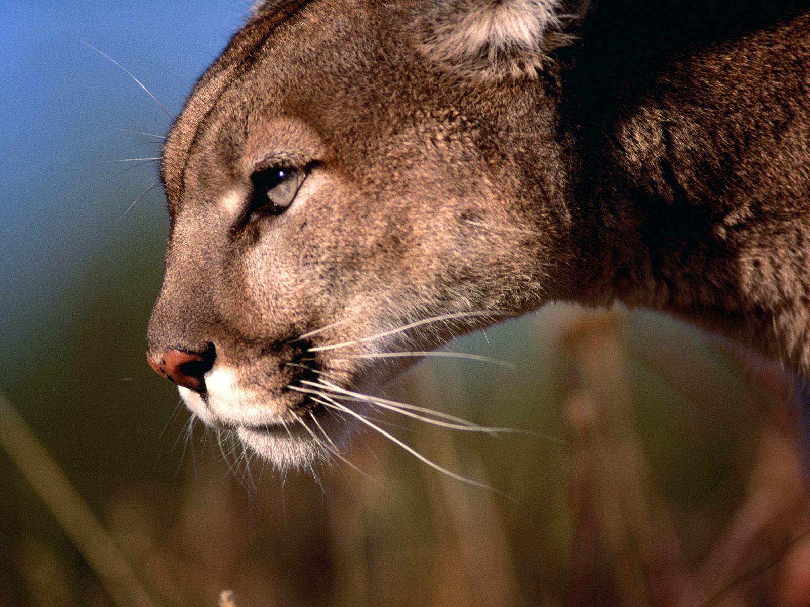 http://4.bp.blogspot.com/-jLNvkTaXSKA/UHiiomM_uWI/AAAAAAAAMQE/VazRjS0D1pg/s1600/Copia+de+Mountain+Lion,+Flathead+Valley,+Montana.jpg