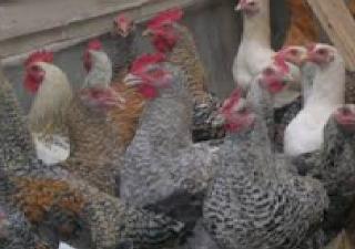 Cara Ternak Ayam Buras Hasil Bombastis