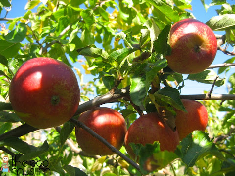 organic british discovery delicious apples orchard