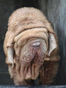 This Neapolitan Mastiff, from the Cadabom Kennels in Bangalore, .