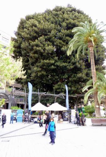 Ficus de la Plaza de Santo domingo, Murcia.