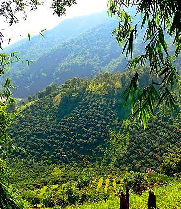 Tea plantations dominate the hills