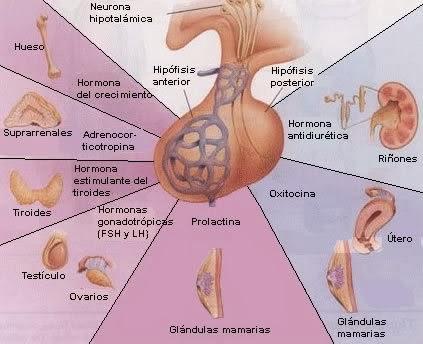 Anatomía y fisiología del sistema endocrino 2AM.: LA HIPOFISIS