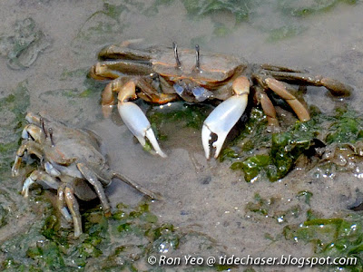 Sentinel Crab (Macrophthalmus sp.)