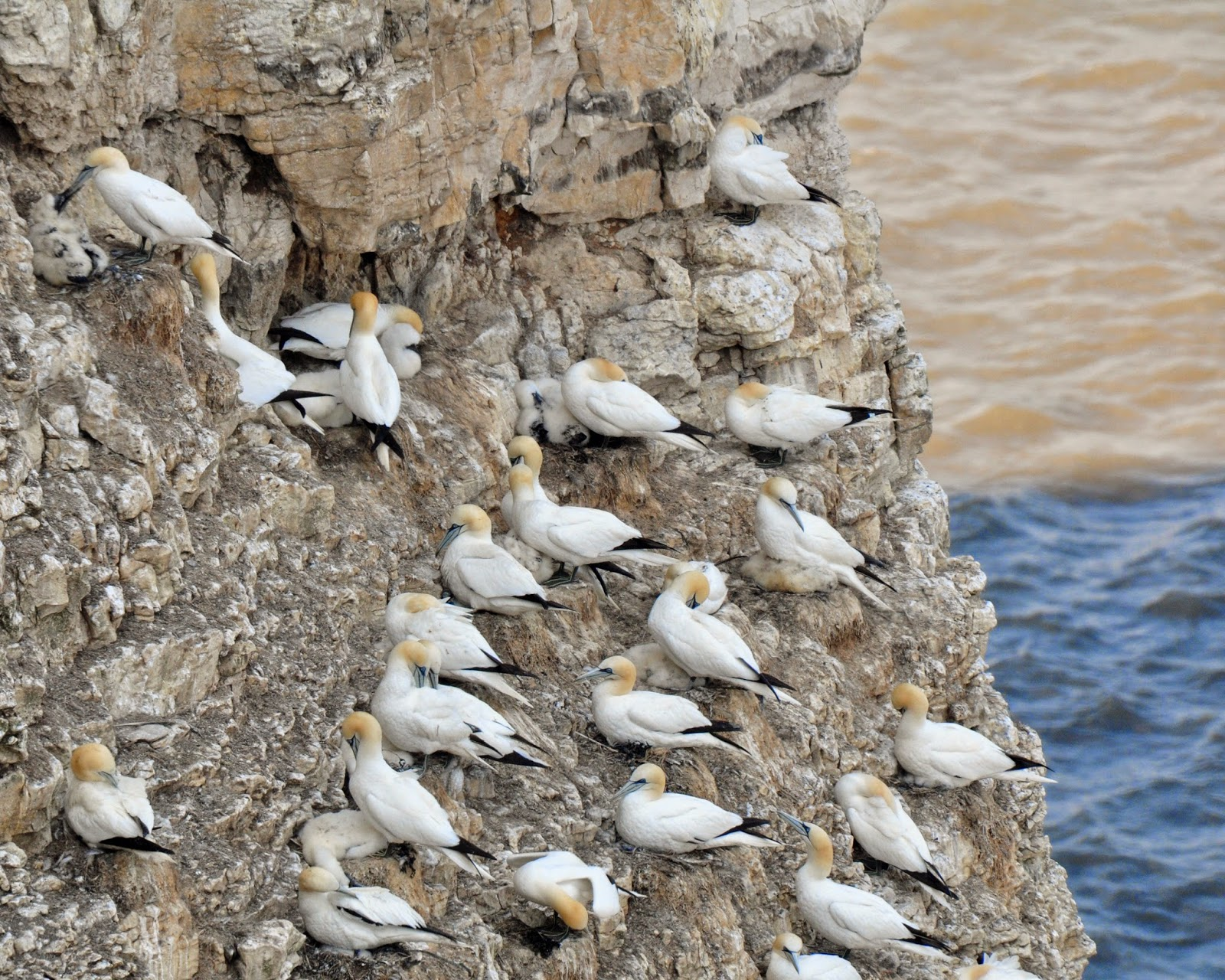 gannet colony at RSPB Bempton Cliffs