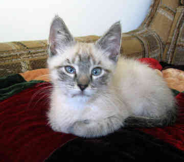 What Is A Balinese Cat Like