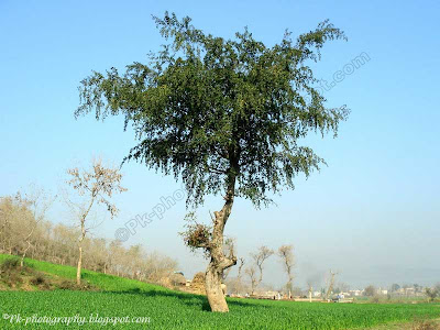 Jujube Tree Picture
