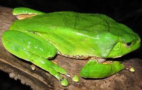 Perereca-Kambô (Phyllomedusa bicolor)