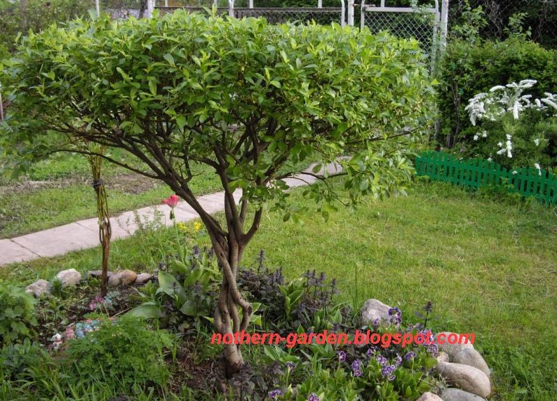 Nadezda\'s Northern Garden : Willow Garden Bonsai, Niwaki