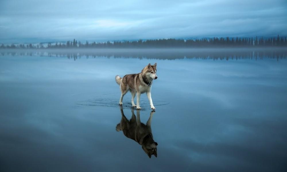 Husky a caminhar num lago coberto de gelo