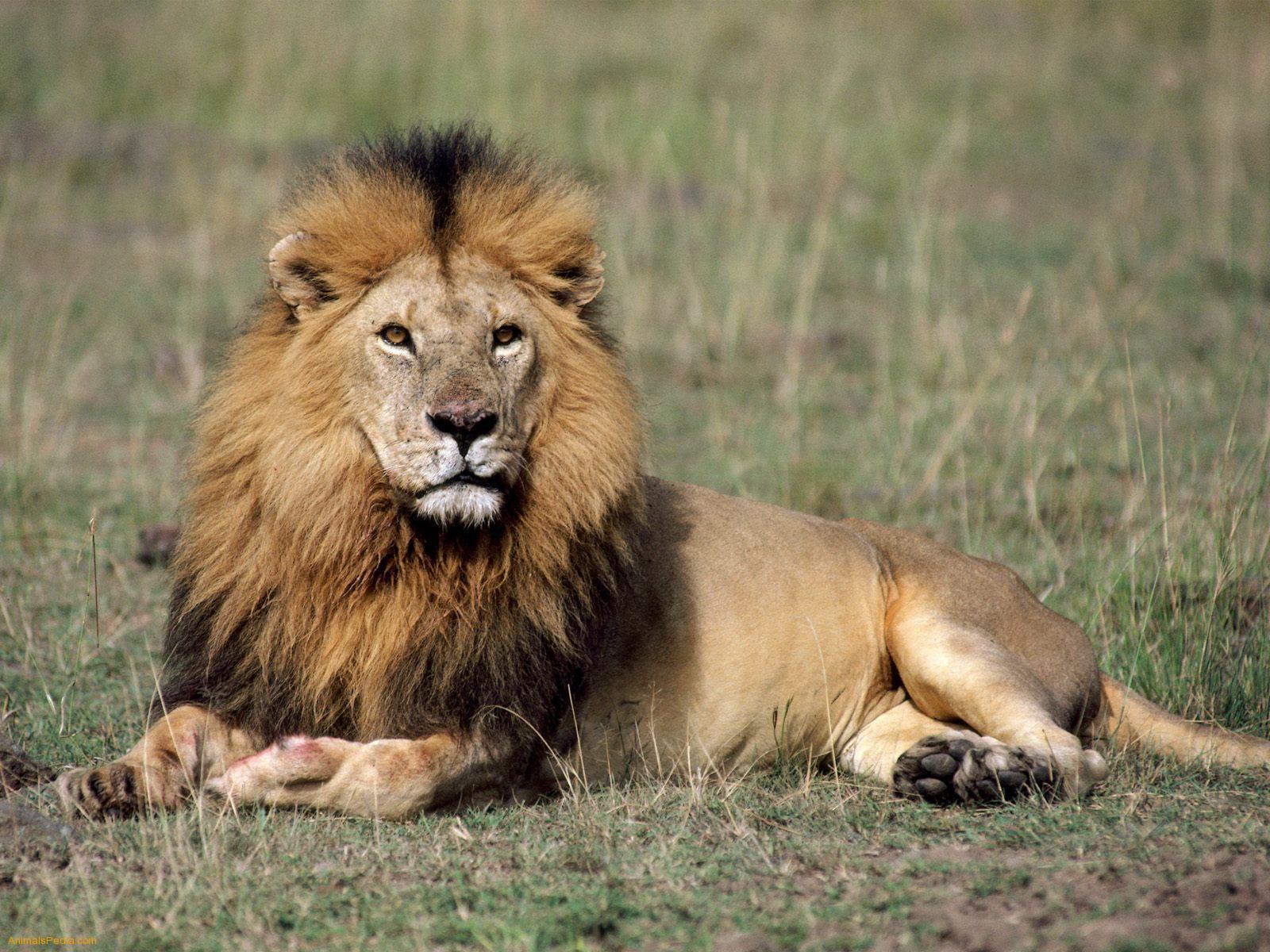 Lion Pictures 39
