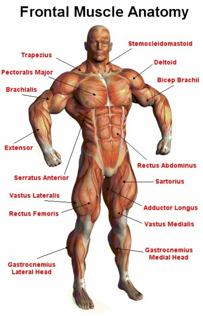 Awesome Human Body Muscle System Diagram Motif - Human Anatomy ...