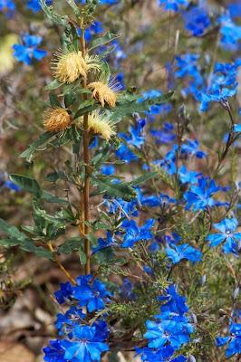 Blue Leschenaultia (Leschenaultia biloba)