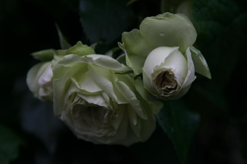 hofgarten eckernf rde eine rose ist eine rose ist eine. Black Bedroom Furniture Sets. Home Design Ideas