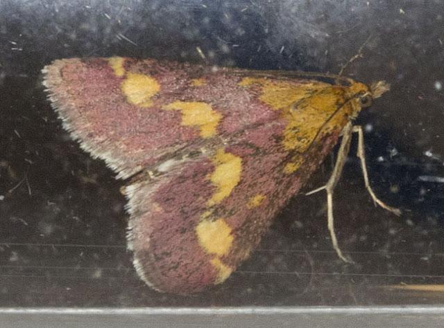 Pyrausta purpuralis in a glass tube.  Keston Common moth trap, 2 July 2011.