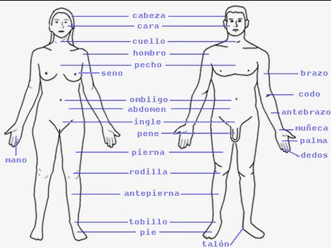 Partes del cuerpo humano en inglés y español con dibujos - Imagui